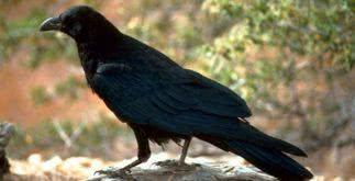 Sonhar com corvo