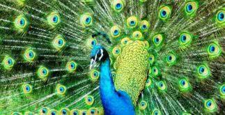 Sonhar com pavão