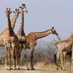 Sonhar com girafa