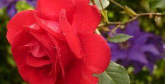 Sonhar com rosa vermelha