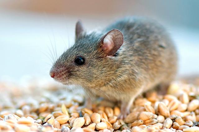 Rato comendo milho