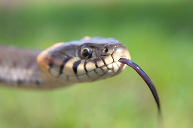 Cobra com língua pra fora