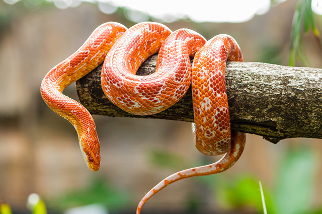 Cobra laranja em galho