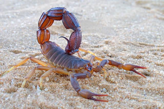 Escorpião marrom